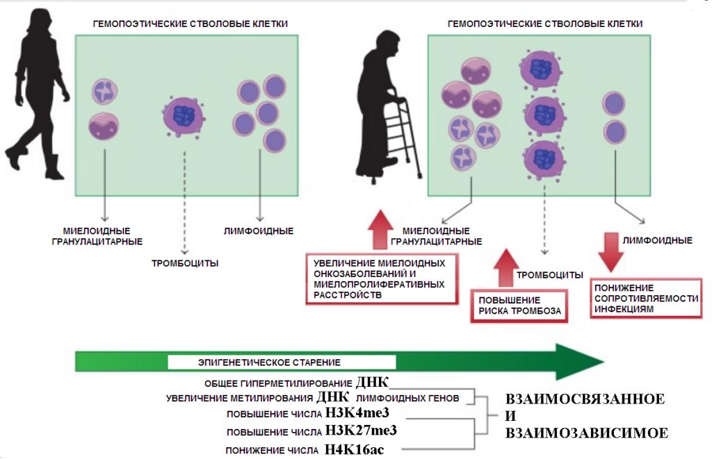 Изменения в стволовых клетках при старении