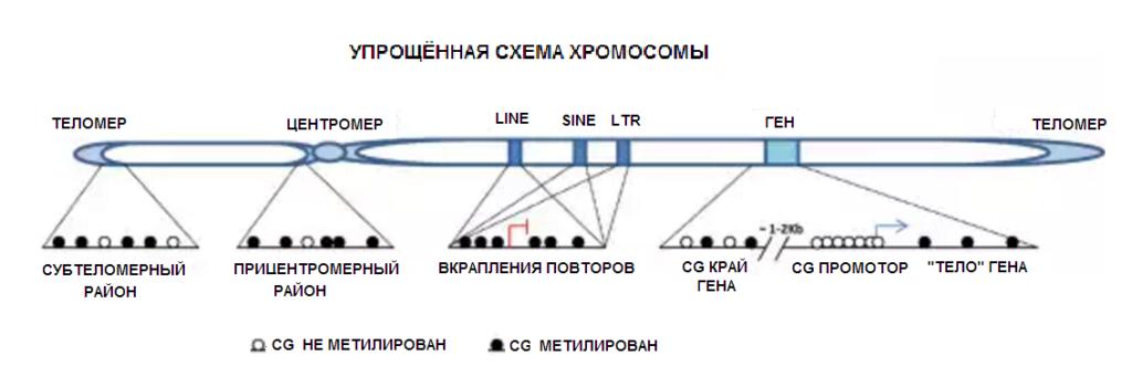 упрощенная схема хромосомы