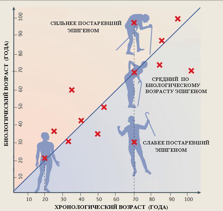 эпигенетический биологический возраст