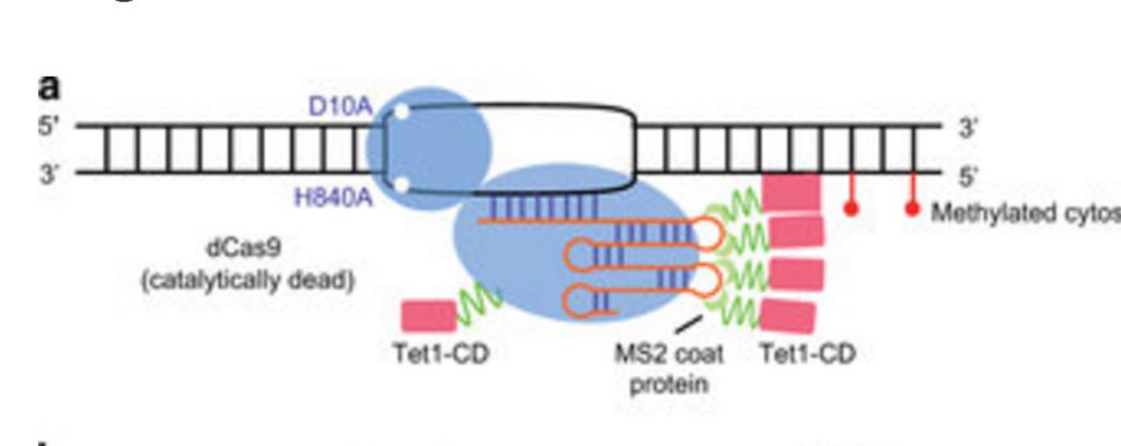 модель деметилирования ДНК